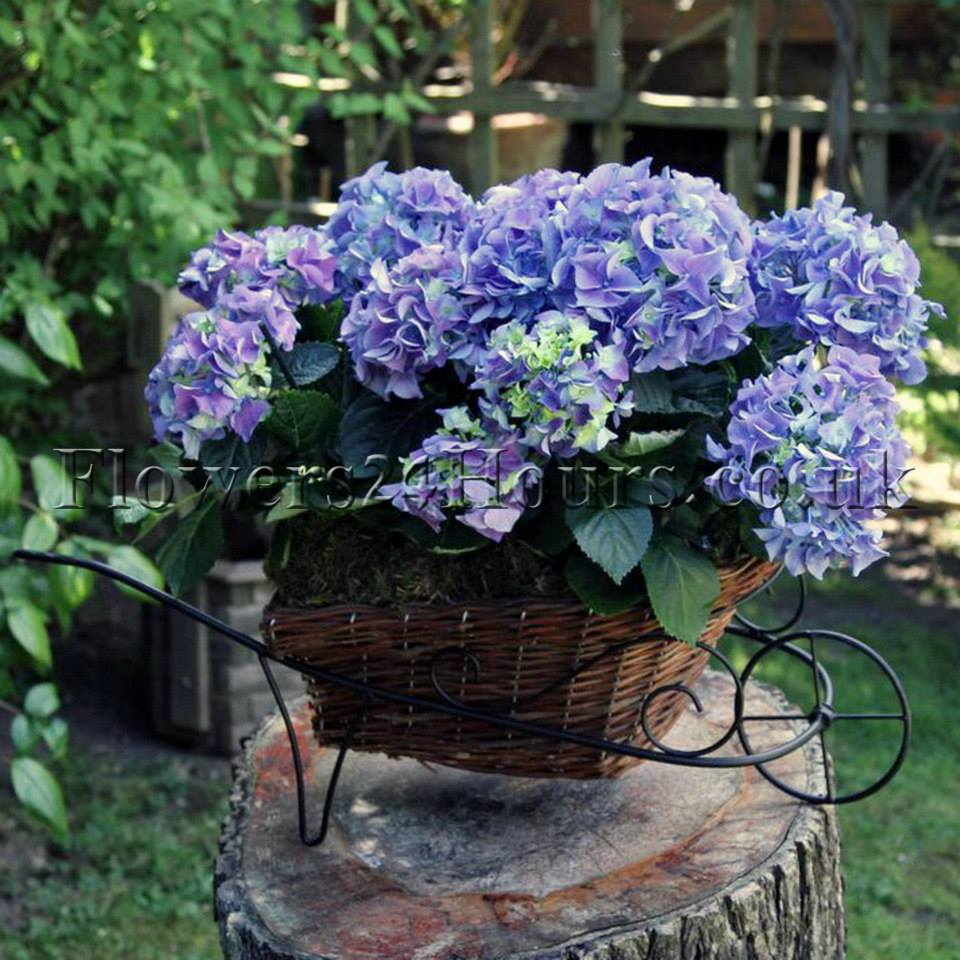 Why hydrangeas are the most versatile flower in world