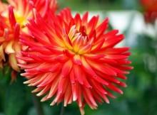 Red-Flowers-for-Gardens-London-Gardening-Flowers-SSummer-pring-Flowers-UK-Delivery-Online-Florist-Garden-Flowers-Delivery-London-Spring-Flowers