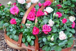 Flowers-delivery-UK-Trug-of-Roses-Same-day-flowers-and-flowers-next-day-delivery-by-Flowers24hours.co_.uk-UK-gifts-shop-London