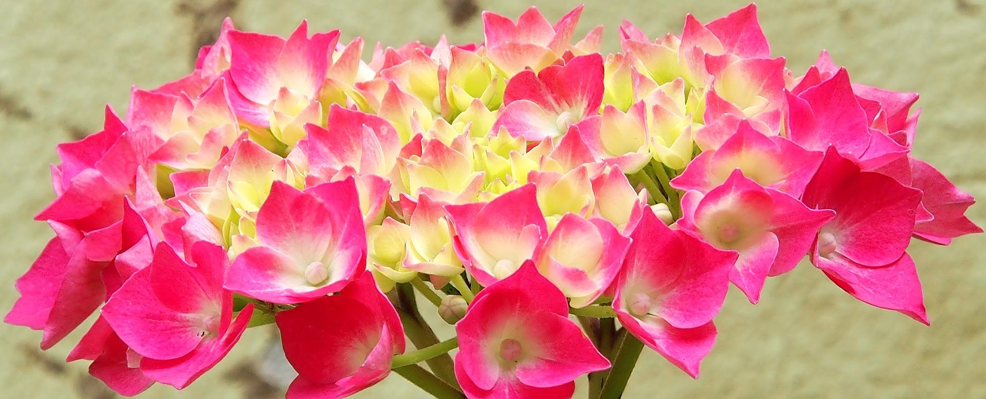 hydrangeas-uk-spring-flowers-london-uk-gift-delivery-london-florist-blog