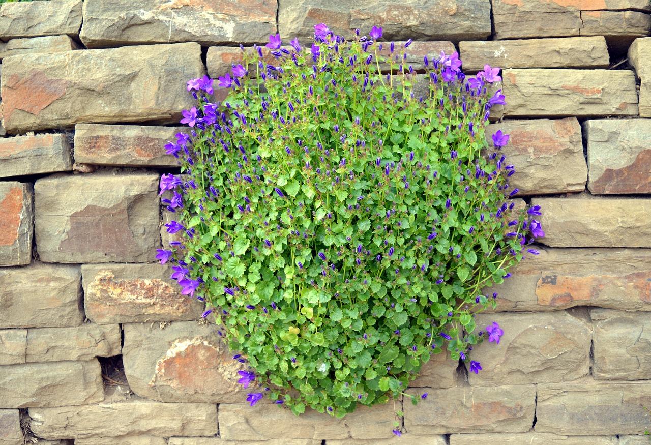bellflower-country-garden-flowers-plants-london-flower-delivery-uk-flower-design-florist-advice