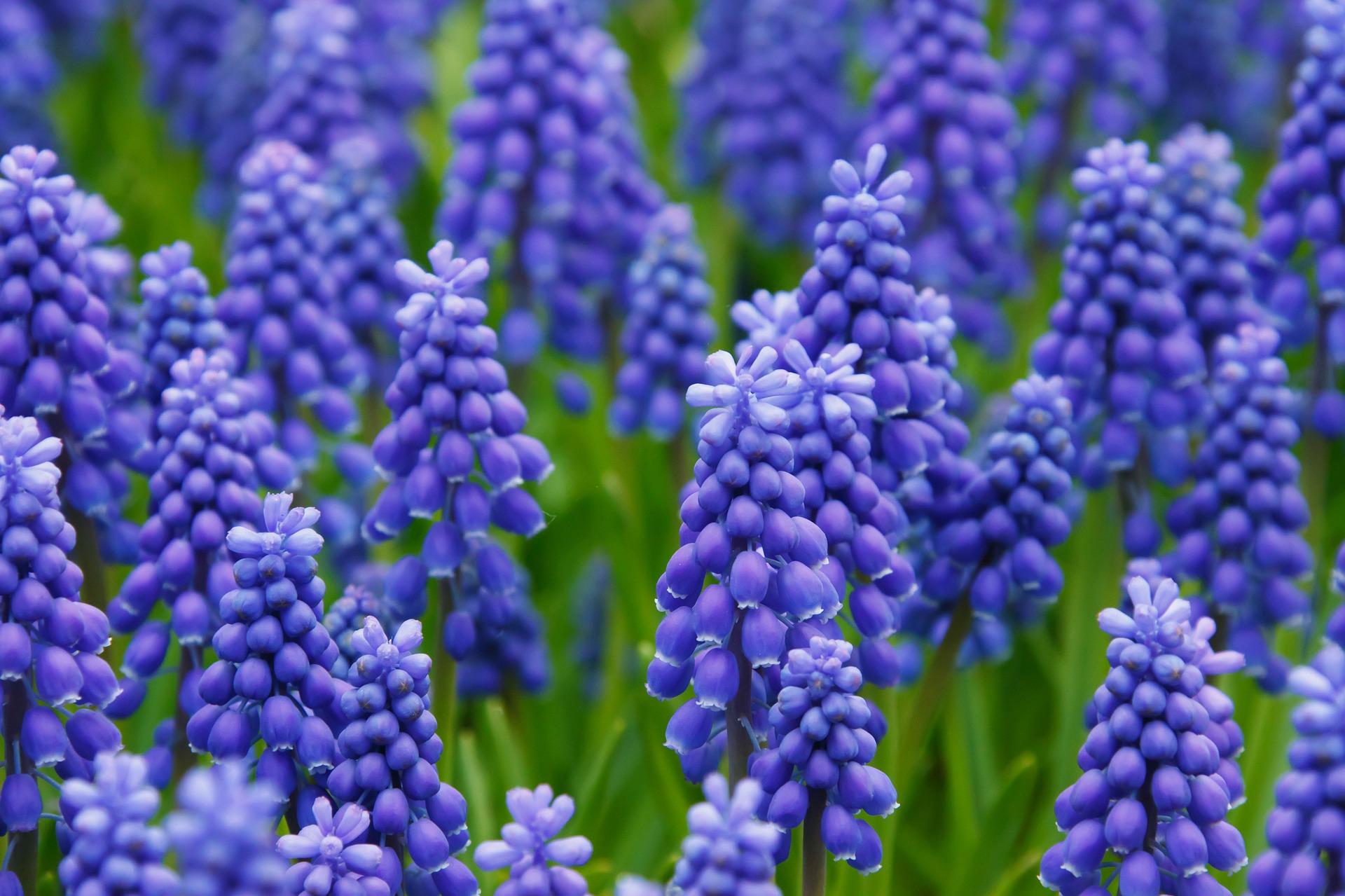 hyacinth-best-uk-london-spring-flowers-london-florist-flowers-24-hours