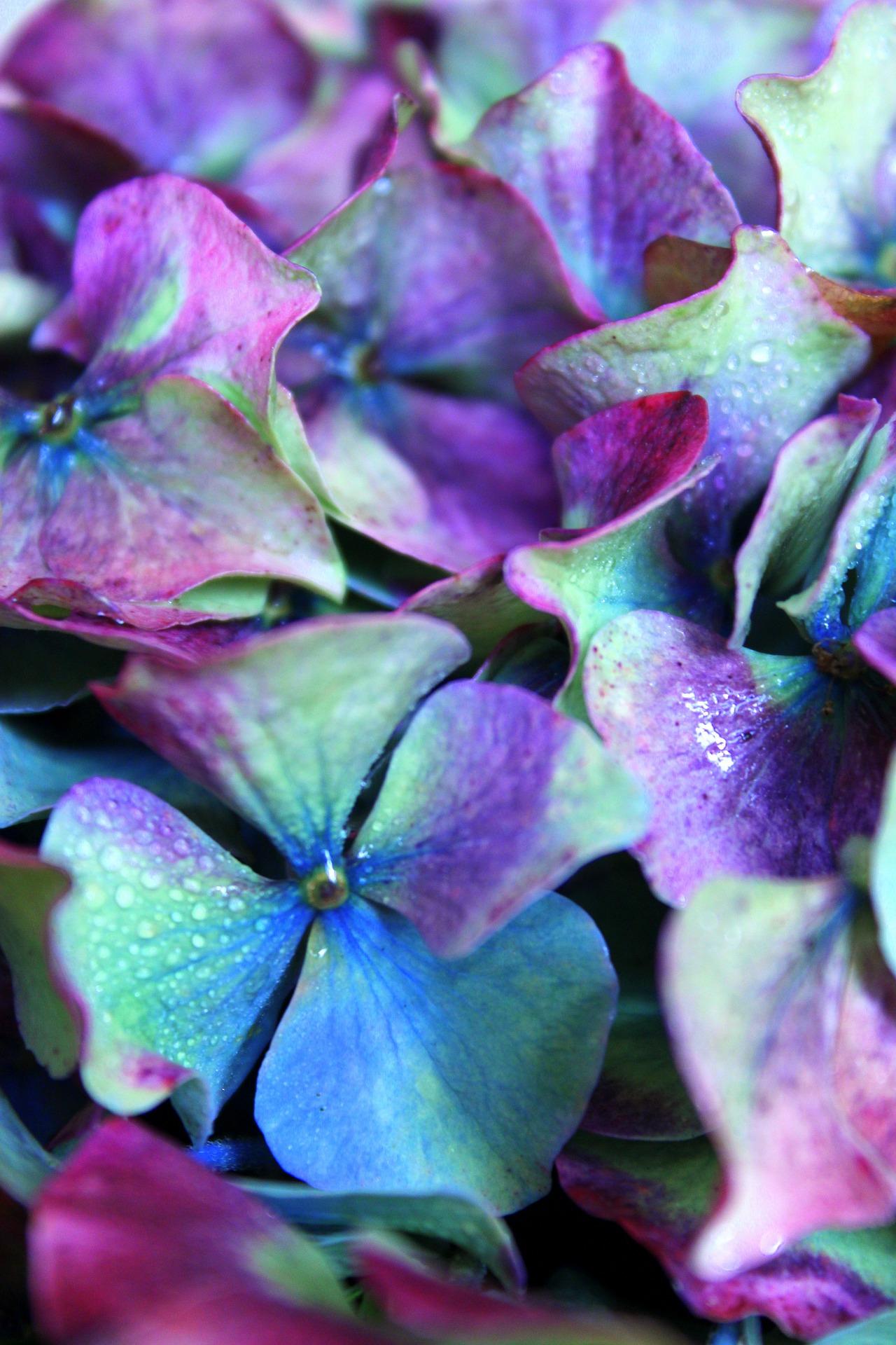 hydrangea-seasonal-london-spring-flowers