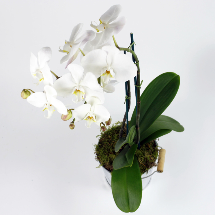Phalaenopsis Orchid same day delivery london uk january flowers delivery london uk same day delivery london florist orchid winter flower arrangements delivery