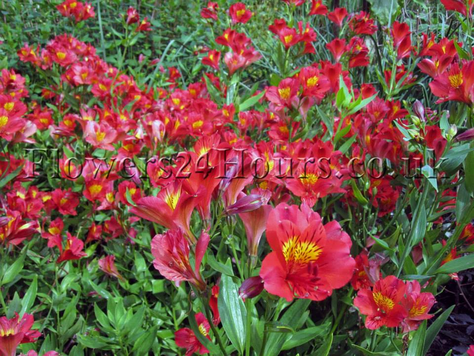 Red-Garden-Spring-Flowers-UK-Garden-Flowers-and-Flower-Gfts-Delivery-London-Same-Day-Flowers-Supplies