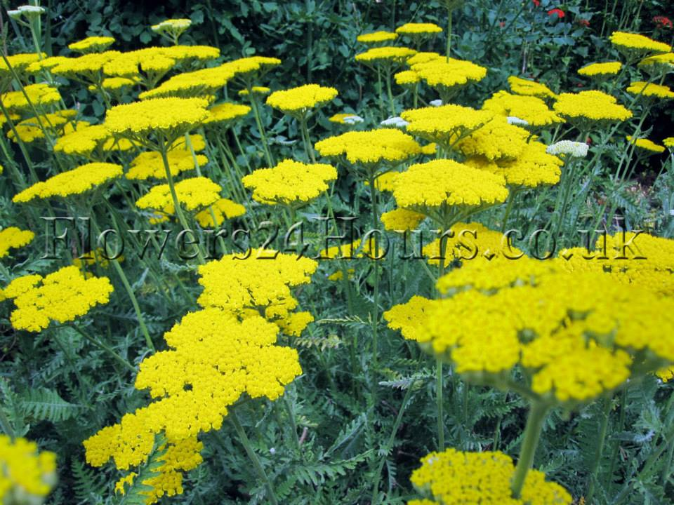 Yellow Spring Summer Flowers Uk Garden Flowers Delivery London