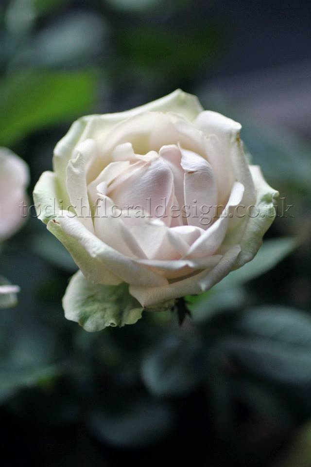 white-rose-bouquets-valentines-day-flowers-london-delivery-same-day