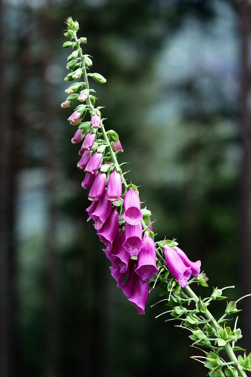 english-garden-flowers-foxglove-s-london-florist-blog-send-flowers-to-london-uk