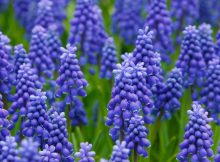hyacinth-best-uk-london-spring-flowers-london-florist-flowers-24-hours