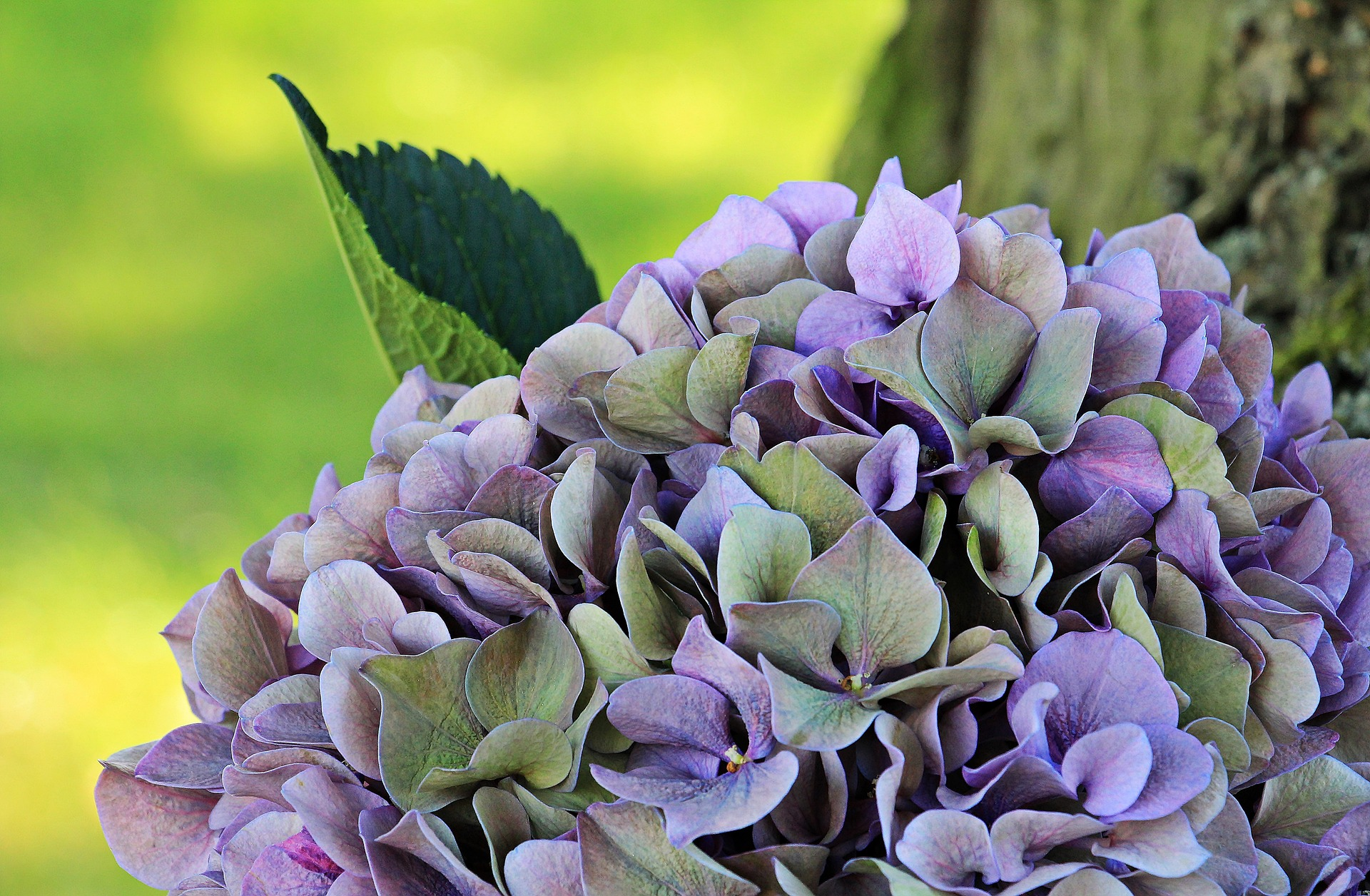 hydrangea-spring-flowers-delivery-london-uk-spring-gifts-delivery-london-florist-blog