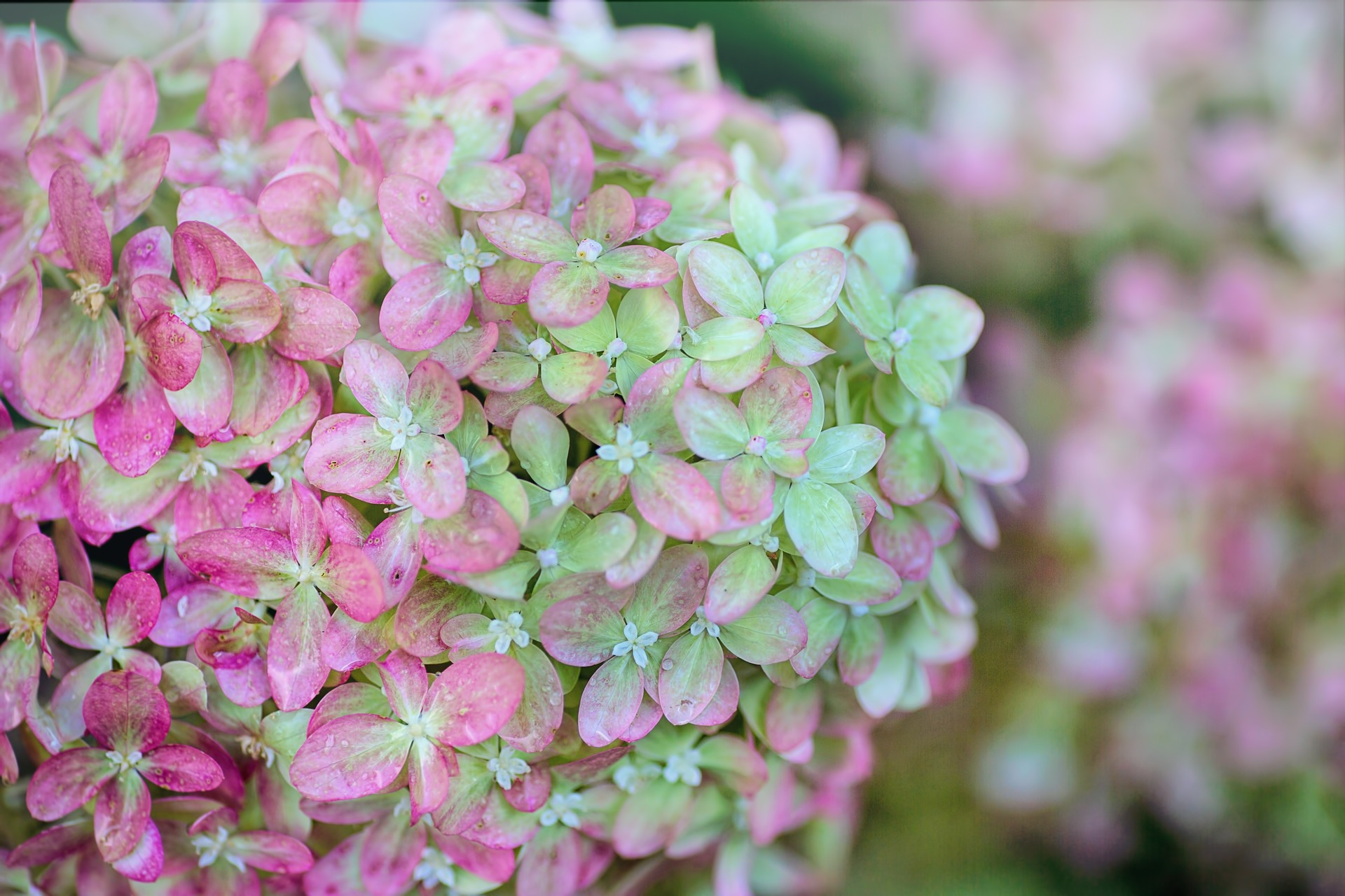 English-gardens-hydrangeas-uk-seasonal-flowers