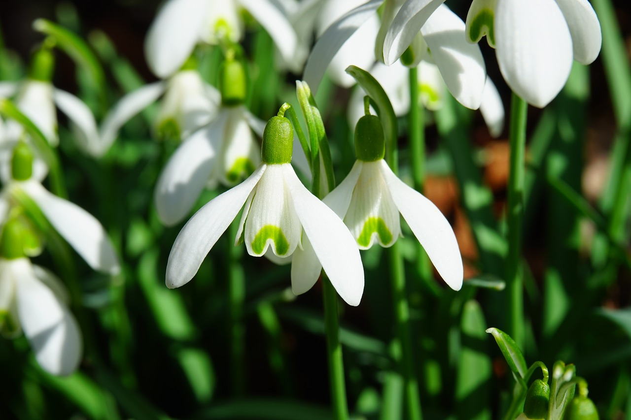 wilflowers-bouquets-delivery-london-snowdrops