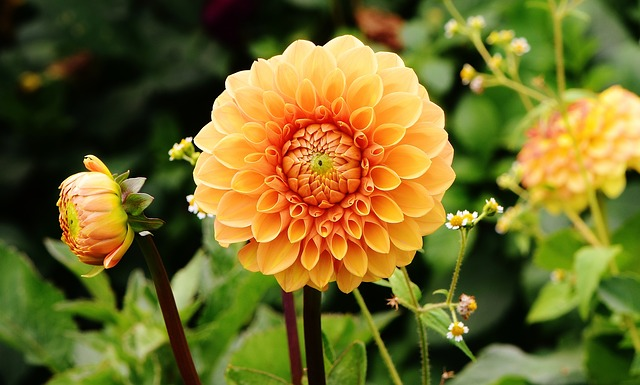 dahlia-delivery-24-hours-london