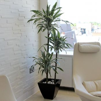 dracaena-send-flowers-uk-next-day-delivery