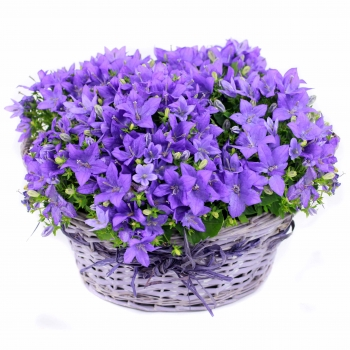 campanula-basket-flowers-delivery-same-day