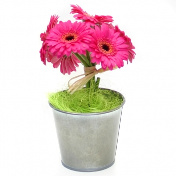 Potted Gerberas