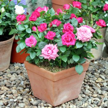 Charming Patio Roses