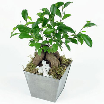 ginseng-ficus-flowers-free-next-day-delivery-uk