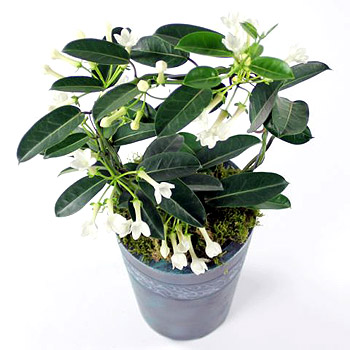 stephanotis-planter