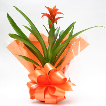 guzmania-plant-flowers-delivered-in-london