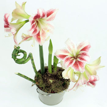 London Flower Delivery on Amaryllis Planted Bulbs In Pot Ready For Delivery London Uk