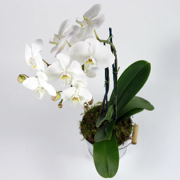 phalaeonopsis-orchid-international-flower-delivery-from-uk