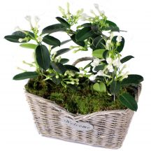Contemporary Stephanotis Basket