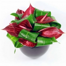 Anthurium Beauty