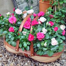 Trug of Roses