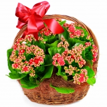 kalanchoe-basket-flower-delivery-london