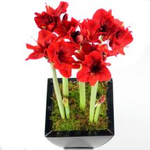 Growing Amaryllis