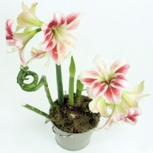 Amaryllis in a pot