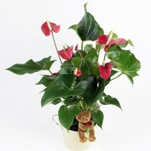 Sheltering Anthurium