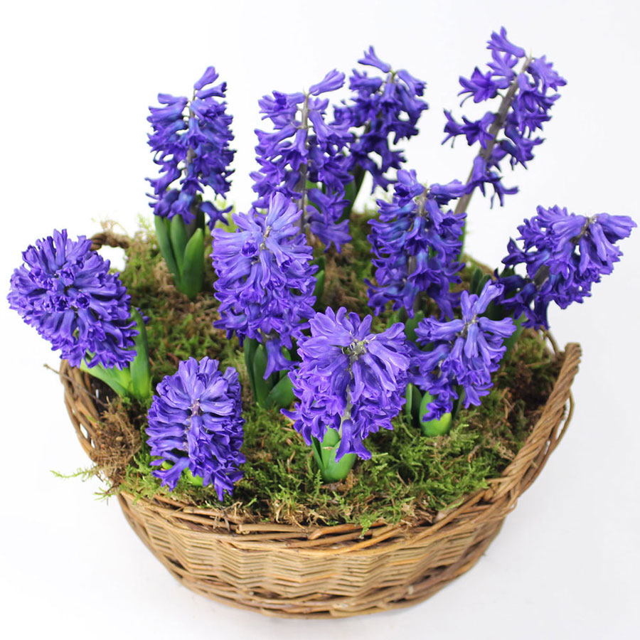 Galore hyacinths galore negle Image collections